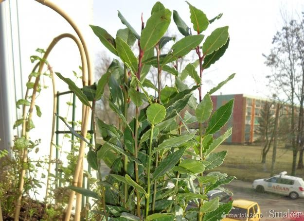 Drzewko laurowe  (laurus nobilis)